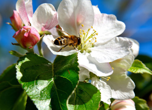 apple-tree_1.jpg